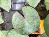 Catchwater Dream Changeable Waterlily Leaf Pad - Plants for Ponds (top)