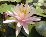 Catchwater Dream Changeable Waterlily - Plants for Ponds