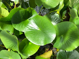 Charles De Meurville Red Water lily Leaf Pad - Plants for Ponds (top)