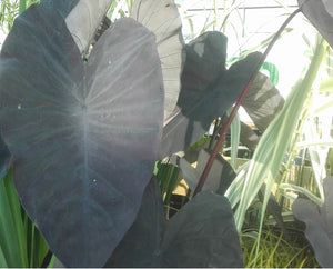 Elephant Ear (Colocasia rubra Black Magic)