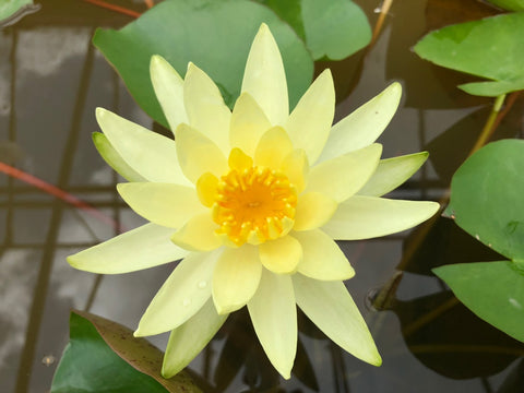 Colonel A J Welch Yellow Waterlily - Plants for Ponds (top)