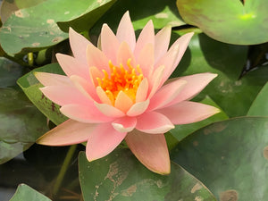 Colorado Changeable Waterlily - Plants for Ponds (top)