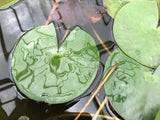 Colorado Changeable Waterlily leaf pad - Plants for Ponds (top)