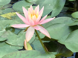 Colorado Changeable Water lily - Plants for Ponds (side)