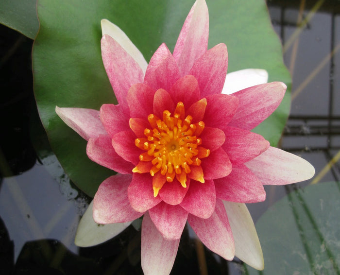 Comanche Water Lily-(Nymphaea Conmanche)