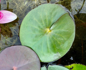 Conqueror Red Waterlily Leaf Pad- Plants for Ponds