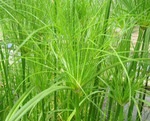 Cyprus papyrus percamenthus (Dwarf Egyptian Paper Rush Marginal Plant
