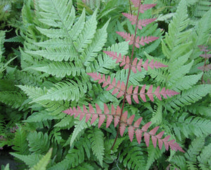 Japanese Wood Fern (Dryopteris erythrosora)
