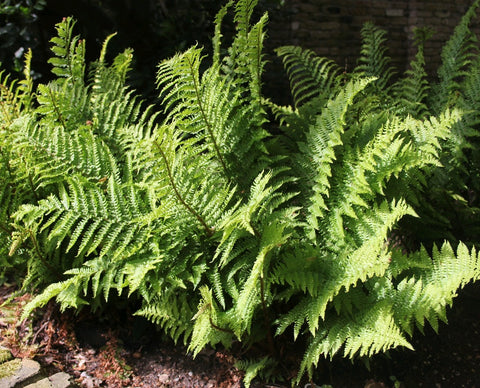 Male Fern-(Dryopteris filix mas)