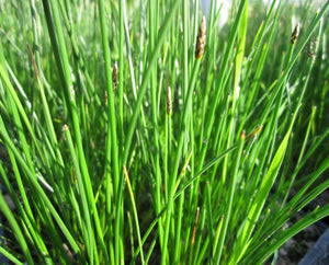 Common Spike Rush (Eleocharis palustris)