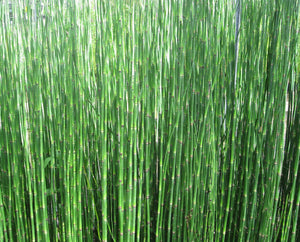 Dutch rush (Equisetum hyemale)