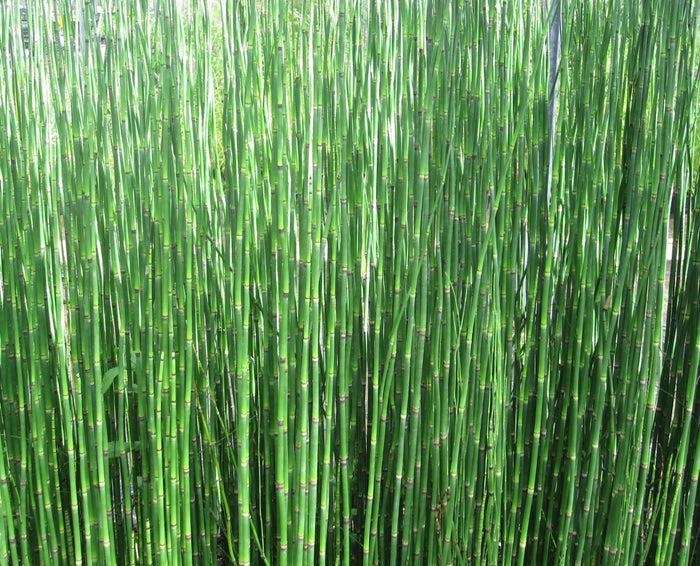 Dutch rush-(Equisetum hyemale)
