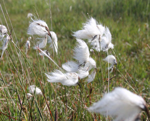 Cotton Grass (Eriphorum angustifolium)