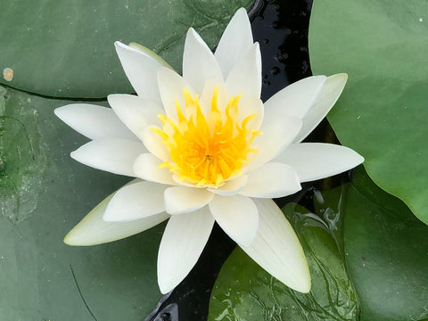 Gladstoniana White Waterlily - Plants for Ponds (top)
