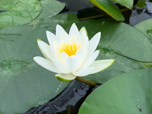 Gladstoniana White Waterlily - Plants for Ponds (side)