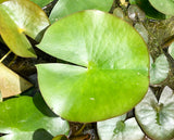Gonnere White Water lily leaf pad - Plants for Ponds