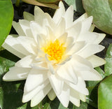 Gonnere White Water lily - Plants for Ponds