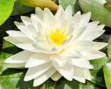 Gonnere White Waterlily - Plants for Ponds