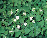 Orange Peel Plant (Houttuynia cordata 'Plena')