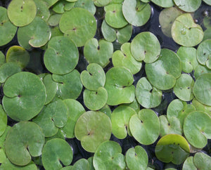 Frogbit (Hydrocharis morsus ranae) Plants for Ponds Ltd