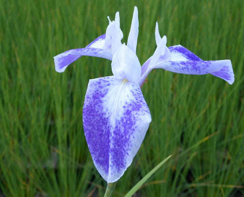 Iris laevigata 'Mottled Beauty'