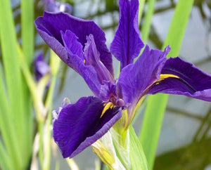 Iris louisiana 'Marie Gallais'