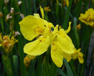 Double Yellow Flag (Iris pseudacorus 'Flore Pleno')