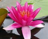 James Brydon - Water lily (Nymphaea James Brydon)