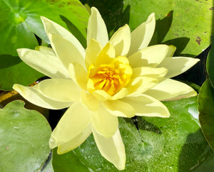 Joey Tomocik Yellow Waterlily - Plants for Ponds