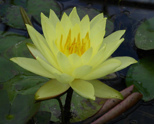 Lemon Mist - Water lily (Nymphaea Lemon Mist)