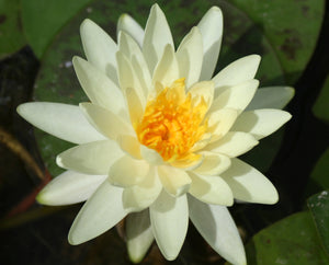 Lemon Mist Yellow Waterlily - Plants for Ponds