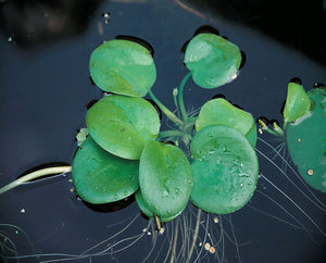 Smooth Frogbit (Limnobium laevigatum) - Plants for Ponds