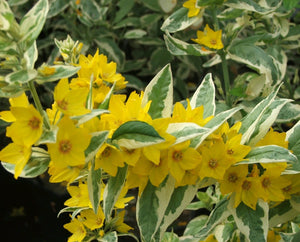 Golden Candles (Lysimachia punctuate Alexander)