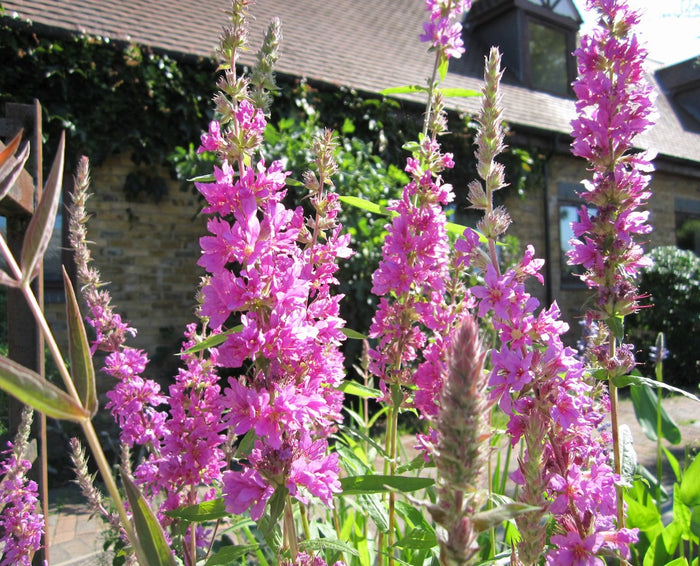 Purple loosestrife-(Lythrum salicaria)