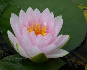 Madame Wilfron Gonnere - Water Lily (Nymphaea Madame Wilfron Gonnere)