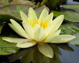 Marliacea Chromatella - Water Lily (Nymphaea Marliacea Chromatella)