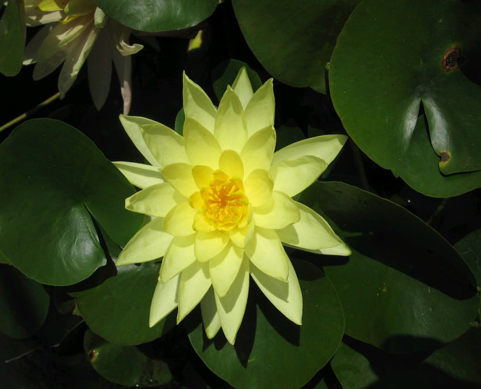 Marliacea Chromatella - Water Lily-(Nymphaea Marliacea Chromatella)