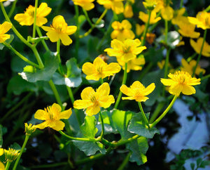 Marsh Marigold, King Cup (Caltha palustris) - Plants for Ponds Ltd