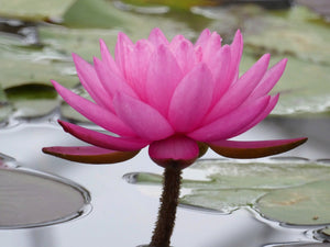 Mayla Pink Water lily - Plants for Ponds