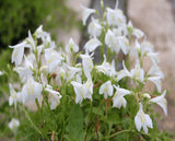 White Chinese marshflower (Mazus reptans 'Albus')