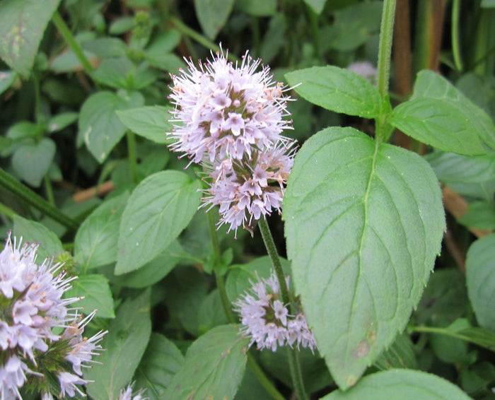 Water Mint-(Mentha aquatica)
