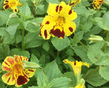 Mimulus luteus 'Queen's Prize' Pond Marginal - Plants for Ponds Ltd