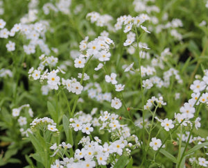 White Water Forget Me Not-(Myosotis scorpioides 'Snowflake') - Plants for Ponds Ltd.
