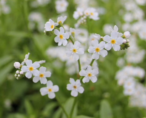 White Water Forget Me Not-(Myosotis scorpioides 'Snowflake') - Plants for Ponds Ltd