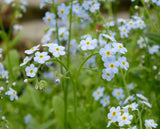 Water Forget-Me-Not (Myosotis scorpioides)