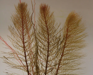Spiked Water Milfoil (Myriophyllum spicatum) - Plants for Ponds
