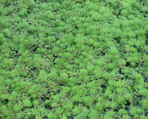 Red Stem Parrots Feather (Myriophyllum brasiliensis 'red stem) - Plants for Ponds