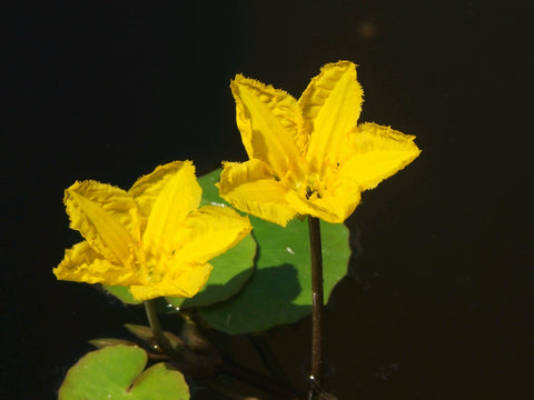 Fringed Water Lily (Nymphoides peltata)
