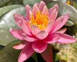 Odorata Firecrest Pink Waterlily - Plants for Ponds