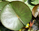 Odorata Firecrest Pink Waterlily Leaf Pad - Plants for Ponds